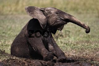 Kleiner Afrikanischer Elefant beim Schlammbad