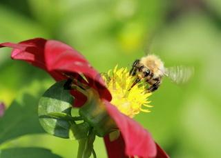 Hummel mit schlagenden Flügeln an Dahlienblüte