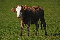 Kalb auf der Weide - Mutterkuhhaltung