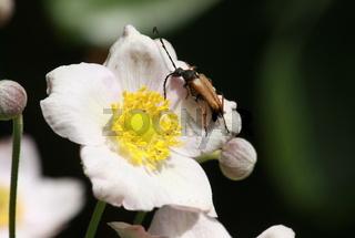 Käfer, Moschusbock, auf weißer Blume, Anemone