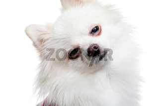 sleepy white pomeranian dog