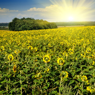 sunflower field over blue sky with sun
