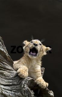 Junger Löwe / Panthera leo