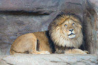 Male lion rests