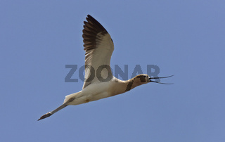 Avocet in Saskatchewan Canada in flight