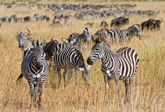 Zebras, Masai Mara, Kenia, Migration, Wanderung