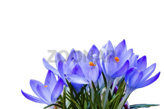 Group-of-blue-crocuses-isolated-on-white-looking-like-watercolor
