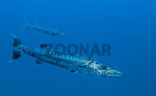 Great Barracuda (Sphyraena barracuda)  Key Largo, FL, USA