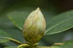 Rhododendronknospe