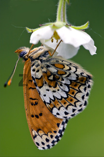 side of wild brown white orange butterfly
