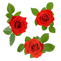 Set of three open red roses with leaves