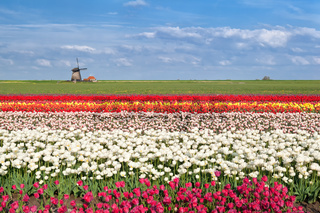 colorful tulip fields in Alkmaar,  North Holland