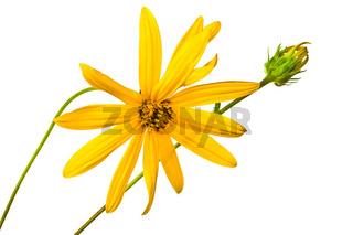 summer yellow  flower