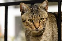 Portrait einer Tigerkatze