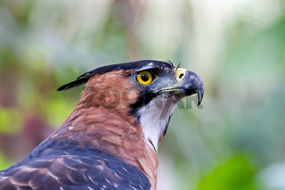 Close up of an Ornate Hawk Eagle at rest in the Amazon jungle.