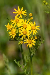 Gewöhnliches Greiskraut, Common groundsel (Senecio vulgaris)
