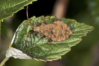 Coreus marginatus, Larve, Lederwanze, Saumwanze, Dock Bug