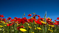 Red Poppies and Yellow Daisies