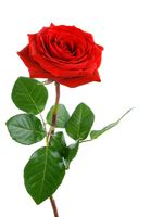 Perfect red rose on white