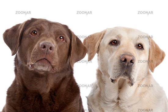 Yellow and chocolate Labrador