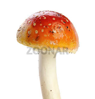 Amanita muscaria isolated on white
