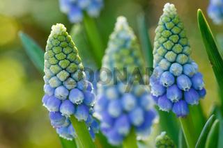 blaue Traubenhyazinthen - Muscari