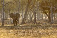 Afrikanischer Elefant im Gegenlicht