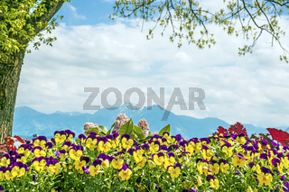 Pansies Chiemsee Alps