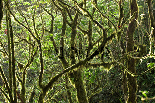 Mossy Rainforest Canopy