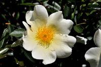 Weisse Blume