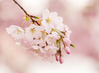 Detail macro photo of japanese cherry blossom flowers