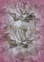 Rosenblütentextur