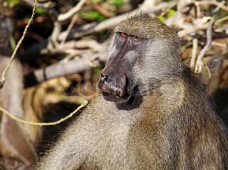 Verletzter Steppenpavian, Gelber Pavian, Chobe, Botswana; papio cynocephalus; savanna baboon, Chobe, Botsuana