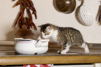 Katze, Kaetzchen Unart, frisst aus Kochtopf / Cat, kitten bad habit, eats from cooking pot