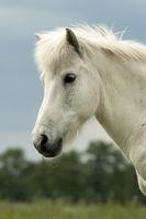 Pferd, Islaender