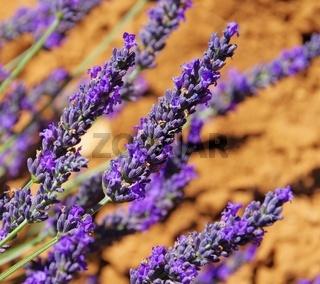 Lavendel - lavender 116