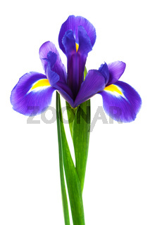 freshness purple iris