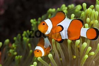 Clown-Anemonenfische