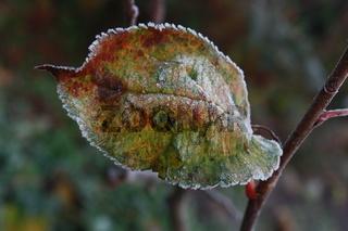 Herbstblatt bunt mit Rauhreif