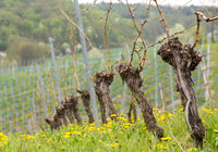 Close up of the pruned vine of grape vineyard
