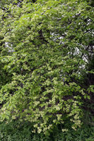 Feldulme, Ulmus minor, field elm