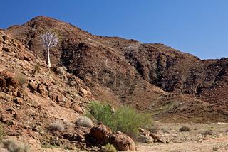 Einsamer Köcherbaum am Hang