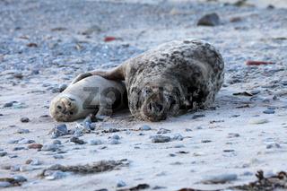 Paarung zwischen Kelgelrobbe und Seehund