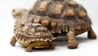 Two African Spurred Tortoise (Geochelone sulcata) isolated on white background