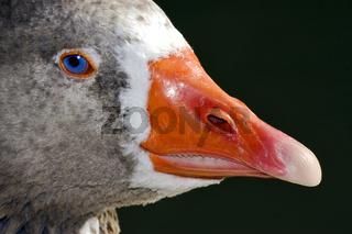 grey duck  in argentina