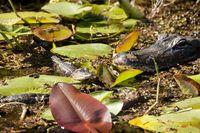 Mississippi-Alligator (Alligator mississippiensis) Weibchen mit Nachwuchs im Nationalpark Everglades in Florida
