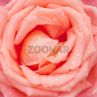 Beautiful pink rose flower
