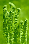 Beautiful young green fern leaves in forest