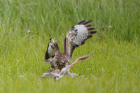 Musebussard, Buteo buteo, Common Buzzard