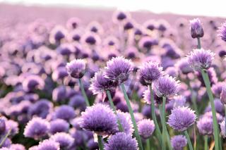 Lilac  onion field